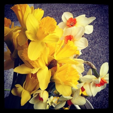 Pike Place Market flowers, like these Daffodils, are grown locally by many talented flower farmers in nearby counties.